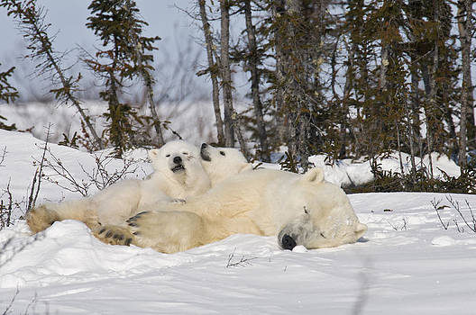 Polar bear family resting by Richard Berry