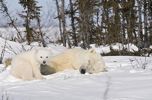 Polar bear mother sleeps as her cub looks around by Richard Berry