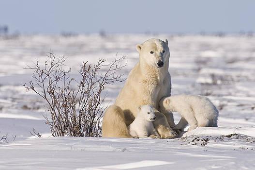 Polar bear nurses cubs by Richard Berry