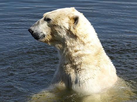 Polar Bear Portrait by Steen Hovmand Lassen