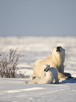 Polar bear watches cubs play by Richard Berry