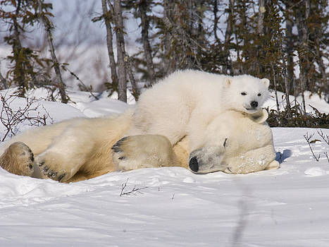 Polar cub hugs its sleeping mother by Richard Berry