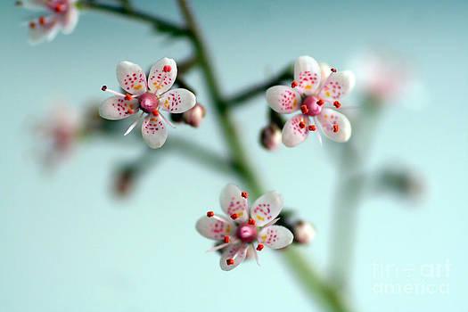 Polka Dot Blossoms by Ste Flei