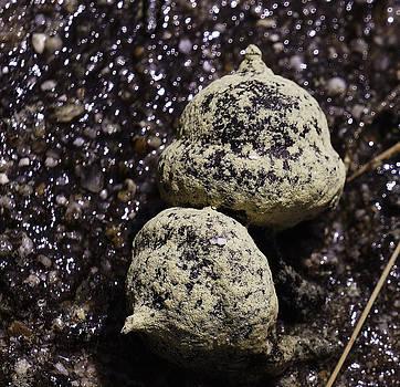 Dawn Hagar - Pollenated Acorn