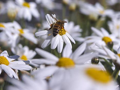 Pollenating Honey Bee by Darren  Names