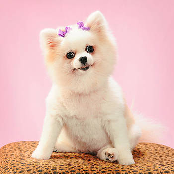 Pomeranian Pup in Pink by Rebecca Brittain