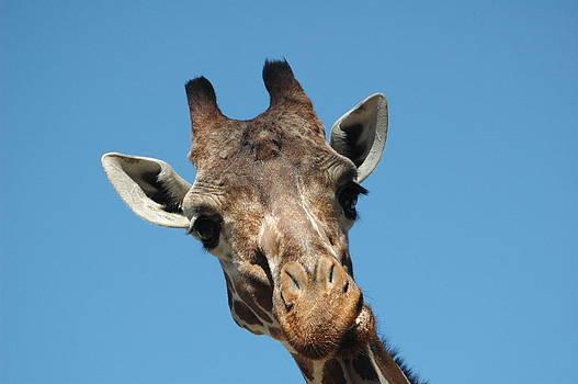 Pondering Giraffe by Sheri Heckenlaible