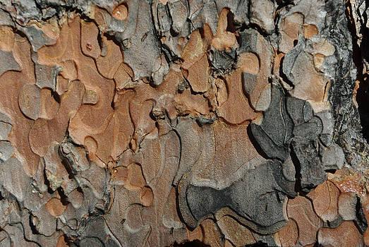 Ponderosa Pine by Curtis Jones