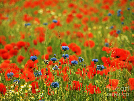 Poppies and Cornflowers by Elizabeth Debenham