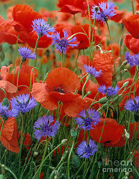 Hans Reinhard - Poppies And Cornflowers