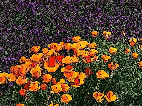 Poppies and French Lavender by Ben Freeman