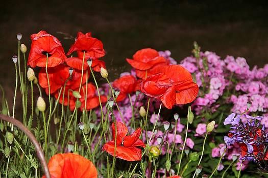 Poppies by Charlene Reinauer