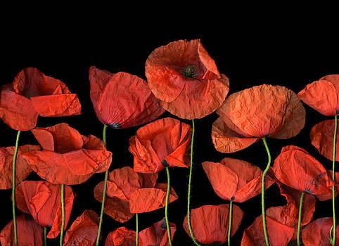 Poppies by Christian Slanec