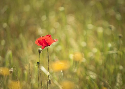Poppies  by Eva Stachova