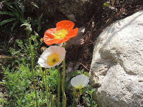 Poppies In The Sun by Helen Carson