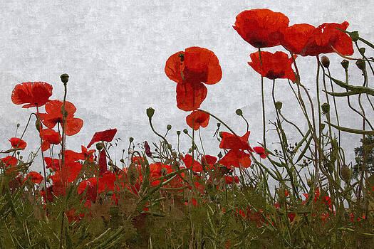David Pringle - Poppies IV