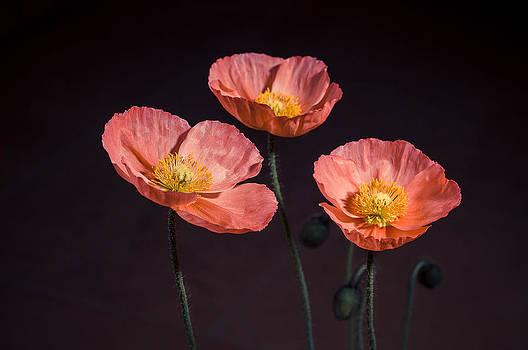 Poppies by Michal Kabzinski