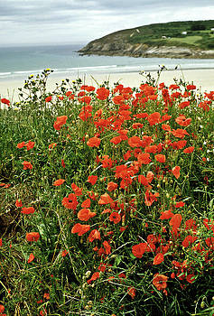 Poppies on the Coast France. by David Davies