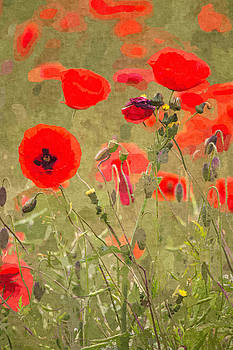 David Pringle - Poppies X