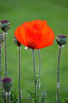 Poppy Alive by Riad Belhimer