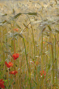 Poppy and Wheat Fields by Norman Hall