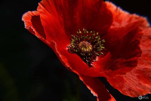 Poppy Blowing in the wind by Phillip Segura