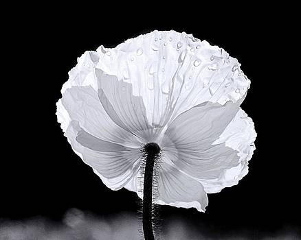 Poppy by Elizabeth Budd
