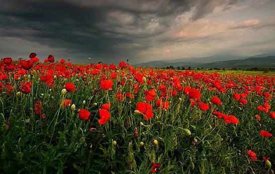 Poppy field by Andrey Trifonov