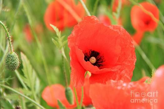 Poppy Flower by AR Annahita