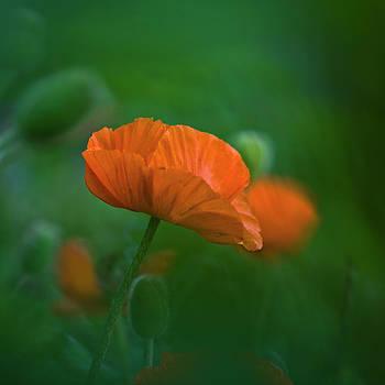 Heiko Koehrer-Wagner - Poppy Flower