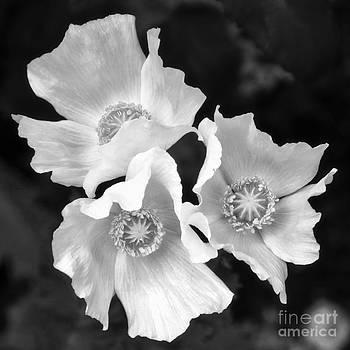 Poppy Flower by Nicola Fiscarelli