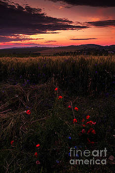 Poppy Flowres by Catalin Petre Stan