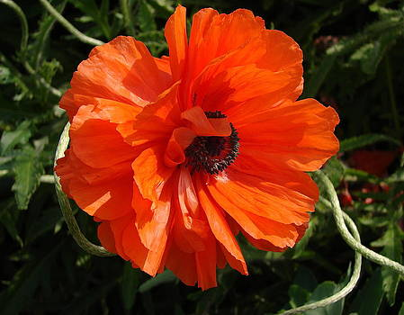 Poppy I by Cynthia Templin