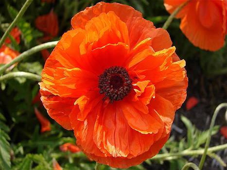 Poppy II by Cynthia Templin