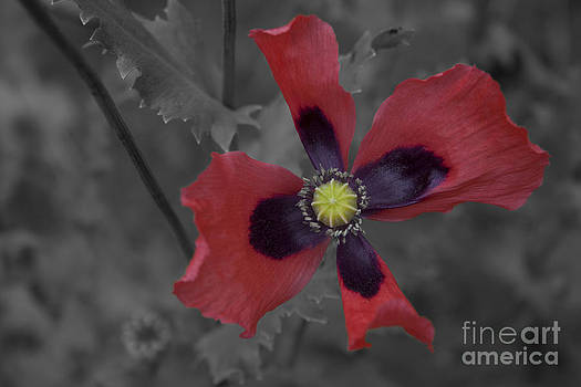 Poppy II by Henry Ireland