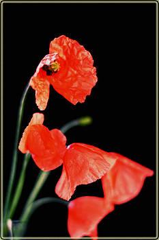 Poppy II by Nadeesha Jayamanne