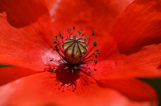 Poppy Inside by Riad Belhimer