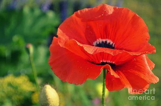 Poppy Love by Kiana Carr