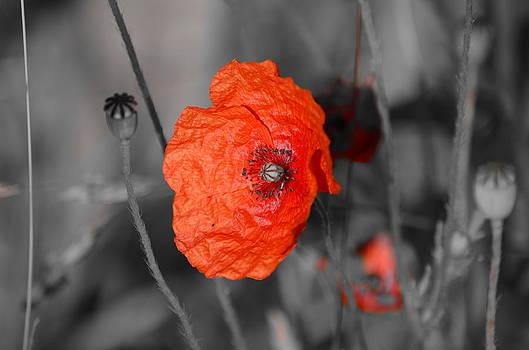 Poppy Of June by Riad Belhimer