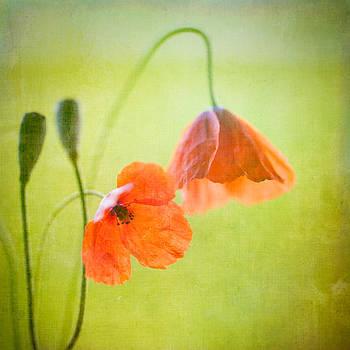 Poppy by Peter Chadwick