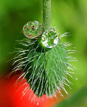 Poppy seed and rain drops by Pete Hemington