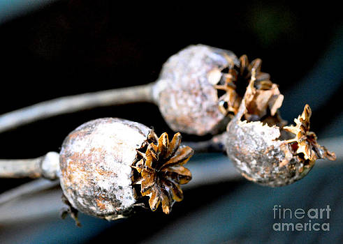 Poppy Seedheads 2 by Tanya  Searcy