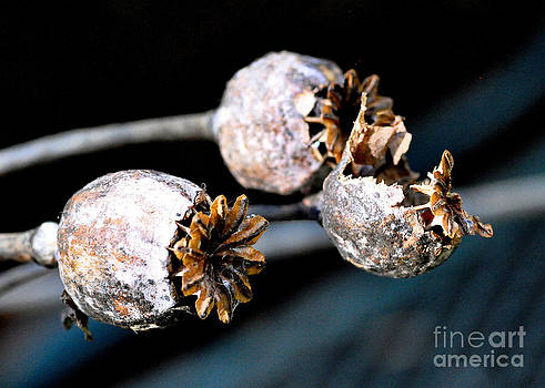 Poppy Seedheads 3 by Tanya  Searcy
