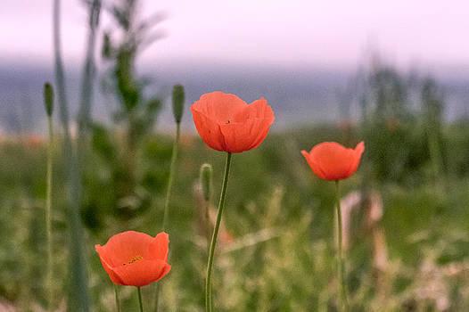 Poppies on display by John Ellis