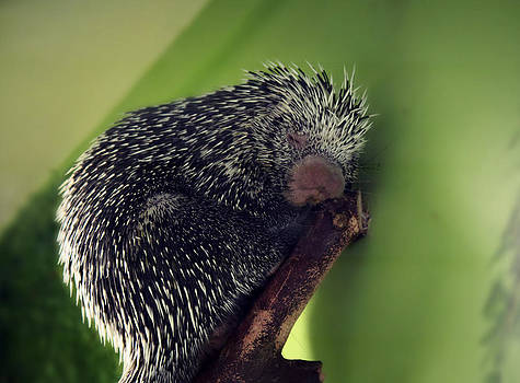 Porcupine Slumber by Melanie Lankford Photography
