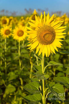Portrait beautiful yellow sunflower field  by Tosporn Preede