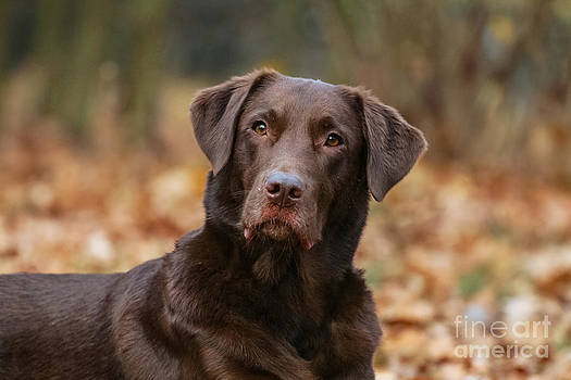 Portrait brown Labrador Retriever by Doreen Zorn