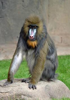 Portrait of a baboon by Robert Bartlett