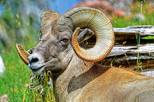 Portrait of a big horn sheep by Jim Boardman