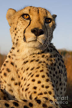 Portrait of a cheetah by Richard Garvey-Williams